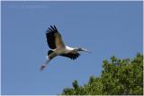tantale - wood stork 3.JPG