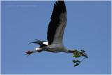 tantale - wood stork 4.JPG
