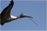 tantale - wood stork 7.JPG