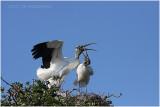 tantale - wood stork 9.JPG