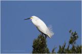 aigrette neigeuse - snowwy egret.JPG
