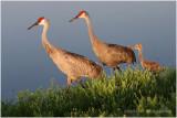 grue du Canada - sandhill crane.JPG