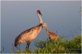 grue du Canada - sandhill crane 2.JPG