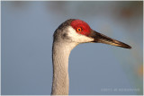 grue du Canada - sandhill crane 4.JPG