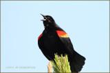 carouge à épaulettes - red- winged blackbird.JPG