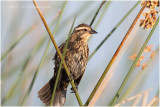 carouge à épaulettes - red- winged blackbird female.JPG
