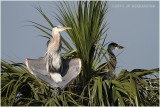 grand héron - great blue heron  mom and chick 2.JPG