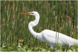 grande aigrette - great egret.JPG