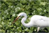 grande aigrette - great egret double catch .JPG