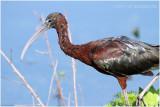 ibis falcinelle - glossy ibis.JPG