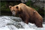 brown bear 5021.JPG