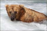 brown bear 3886.jpg