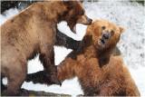 combat - bear fight 3832.jpg