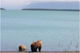 mom and cub on Naknek lake beach 4907.jpg