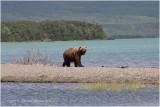 Katmai brown bear 4914.jpg
