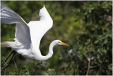 grande aigrette - great egret 2.JPG