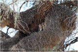 Effraie - Barns owl 7309