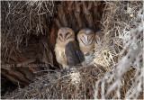 Effraie - Barns owl 7320