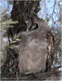 Grand duc - Verreauxs eagle-owl 7314