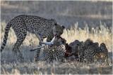 Guepard - Cheetah 7472
