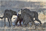 Guepard - Cheetah 7475