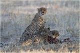 Guepard - Cheetah 7535