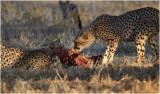 Guepard - Cheetah 7560