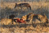 Guepard - Cheetah 7572