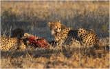 Guepard - Cheetah 7573