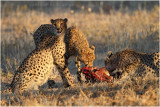 Guepard - Cheetah 7578