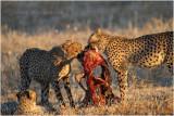 Guepard - Cheetah 7584