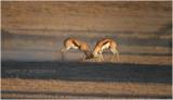 Springbok 7620