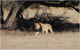 Kalahari lion 7715