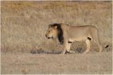 Kalahari lion 7742