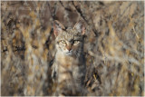 Chat sauvage - African wild cat 7885