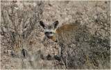 Otocyon - Bat eared fox 7305