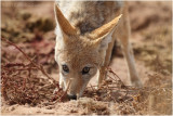 Chacal gros plan - Jackal close up 8027
