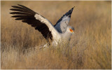Serpentaire - Secretary bird 8137