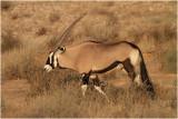 Oryx - Gemsbok 8142