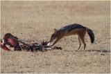 Chacal - Jackal  on a gemsbok carcass 8154
