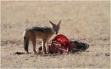 Chacal - Jackal  on a gemsbok carcass 8179