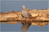 Pigeon roussard - Speckled pigeon 7357