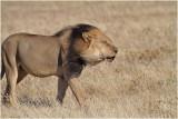 Kalahari lion walking against the wind.JPG