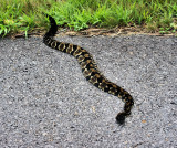 a Timber Rattler Snake we came cross On the BRPW to day 7/17/11