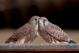 Common Kestrel Fledglings    פרחוני בז מצוי