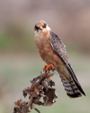 Red footed Falcon (female)