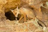 Vulpes vulpes Red Fox       שועל מצוי