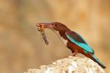 White throated Kingfisher