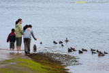 Feeding the eiders.