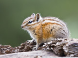 Red Tailed Chipmunk